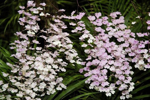 Delicada orquídea violeta (Ionopsis utricularioides)