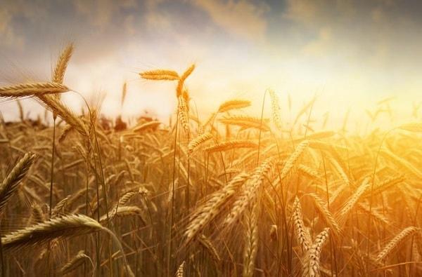 ilalang dan gandum