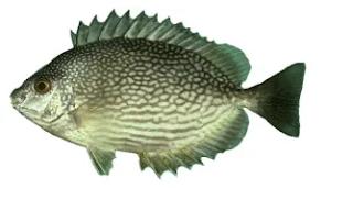 Baronang (Siganus Sp.)