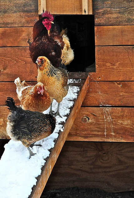Happy Chickens Lay Healthy Eggs When It Is Cold Tips For