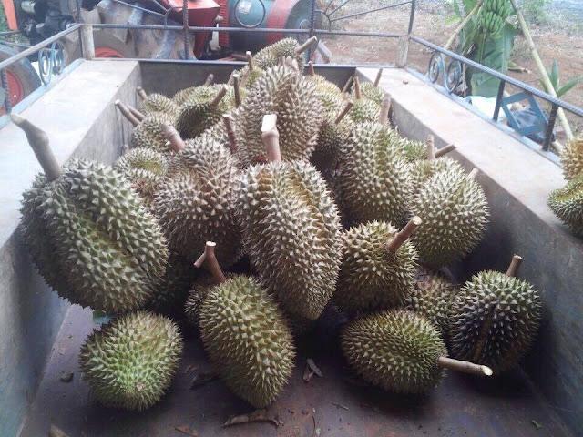 Thu hoạch sầu riêng vườn nhà Anh Nam, tháng 5.2016