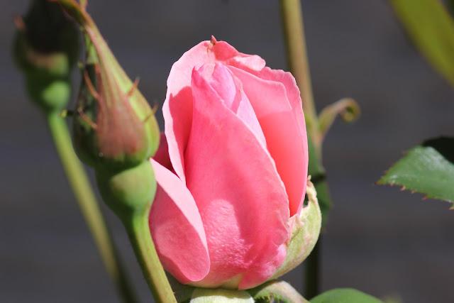 Lila-rose-bud-papilla