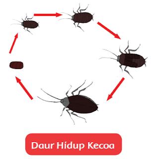 Daur Hidup Kecoa www.simplenews.me