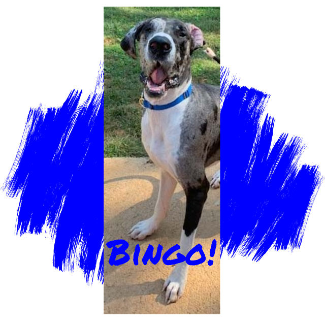 Great Dane Dog Adoption