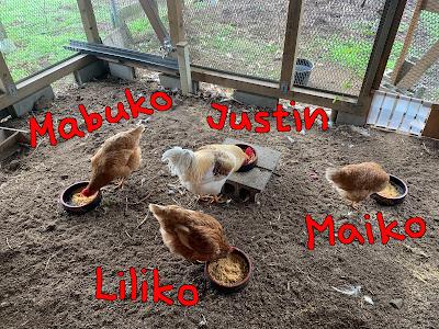 Free range chicken farm, egg, Tsukuba, solar sharing, power plant Oo, Chickens Playground, おお発電所、とりの遊び場、ニワトリ 放し飼い