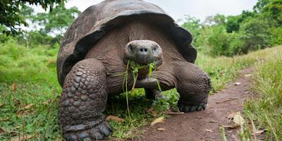 Makanan Kura-Kura Raksasa Aldabra