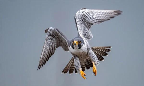 أسرع طائر في العالم