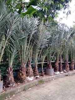 Jual Pohon Palem Kurma | Pohon Kurma Ajwa | Pohon Palem Kurma Murah