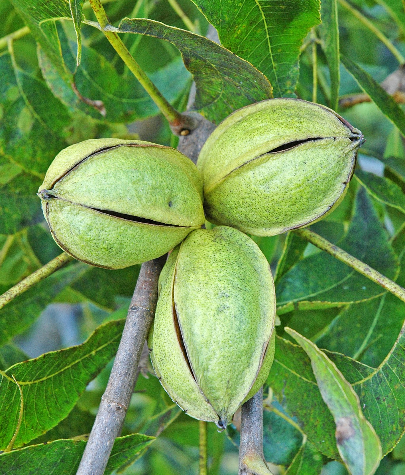 Northern Pecans Pecan Cultivars Ripening By October 6th