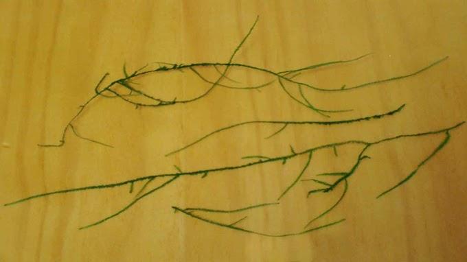Taxiphyllum var. String Moss