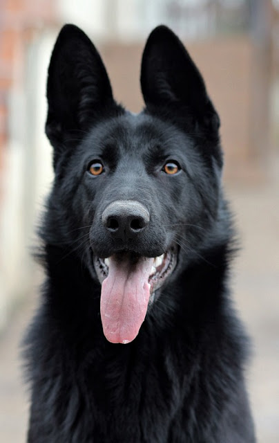 German Shepherd Dogs,