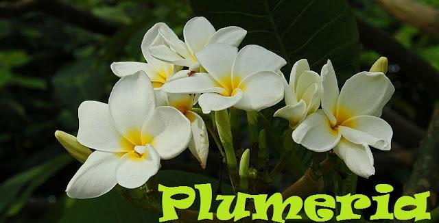 http://plantukis.blogspot.com.es/2016/11/plumeria-genero-informacion-y-video.html
