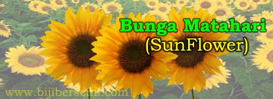 cara menanam bunga matahari, bunga matahari, manfaat bunga matahari, budidaya bunga matahari yang benar
