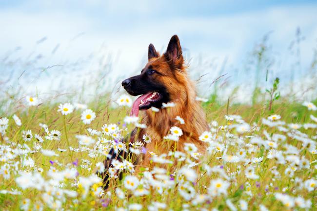 Jak chronić psa w lecie przed kleszczami?