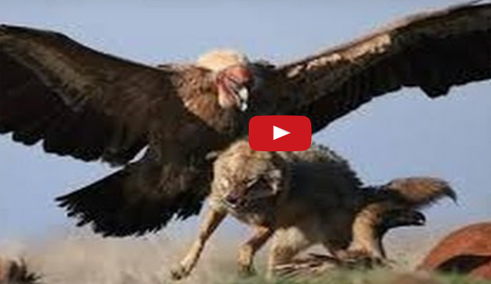 eagle vs wolf attack wolf hunting with an eagle