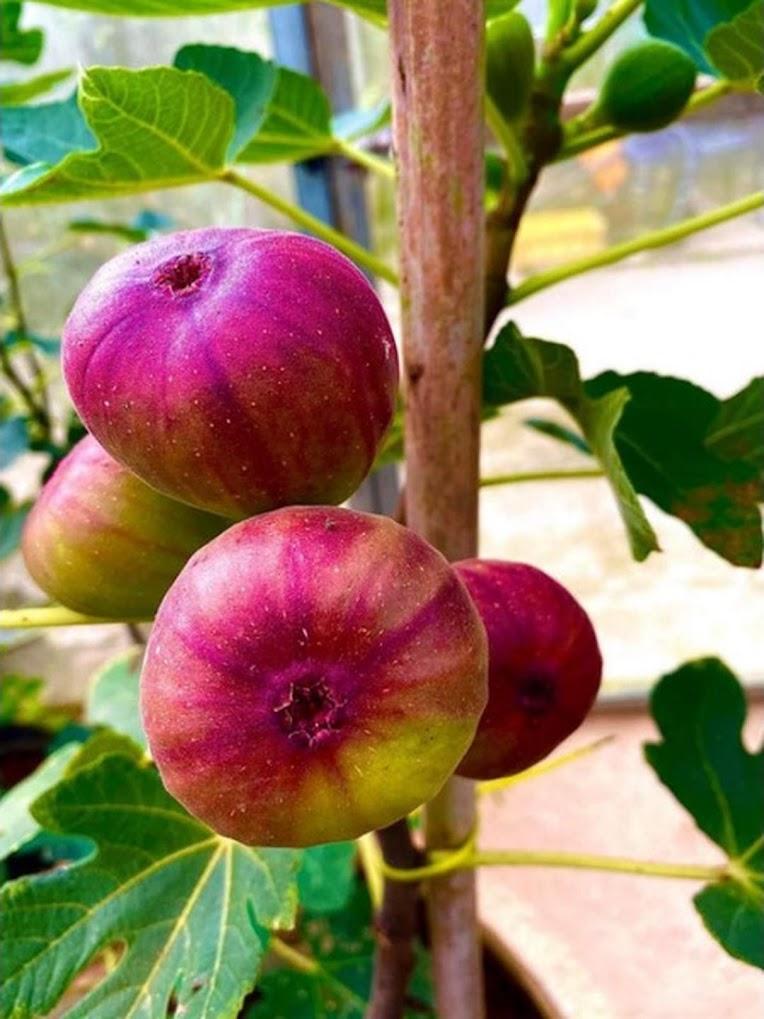 Bibit buah tin Super Red Hybrid fresh cangkok bibit buah tin Bekasi