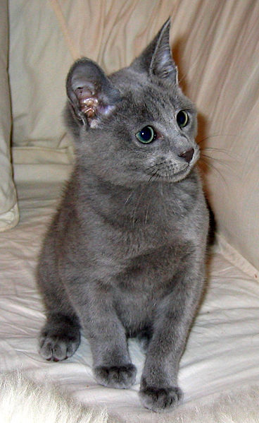Thepipershihtzu Russian Blue Cats By Jason