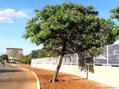 Plano de arborização urbana de Palmas Tocantins, plano de arborização, arborização urbana, Palmas, Tocantins, Ecótono Engenharia, vegetação remanescente, vegetação nativa, Salvertia convallariodora, Chapéu de couro