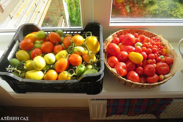 томаты, помидоры, без ухода, урожай, фото томатов