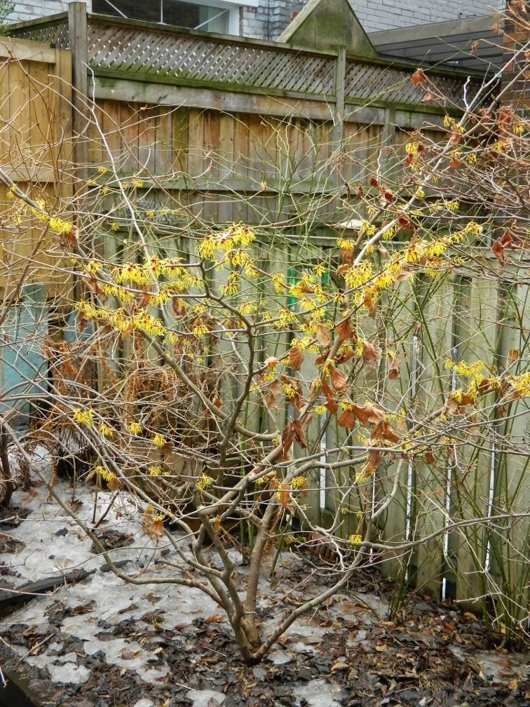 Hamamelis x intermedia Arnold Promise witch hazel by garden muses-not another gardening blog