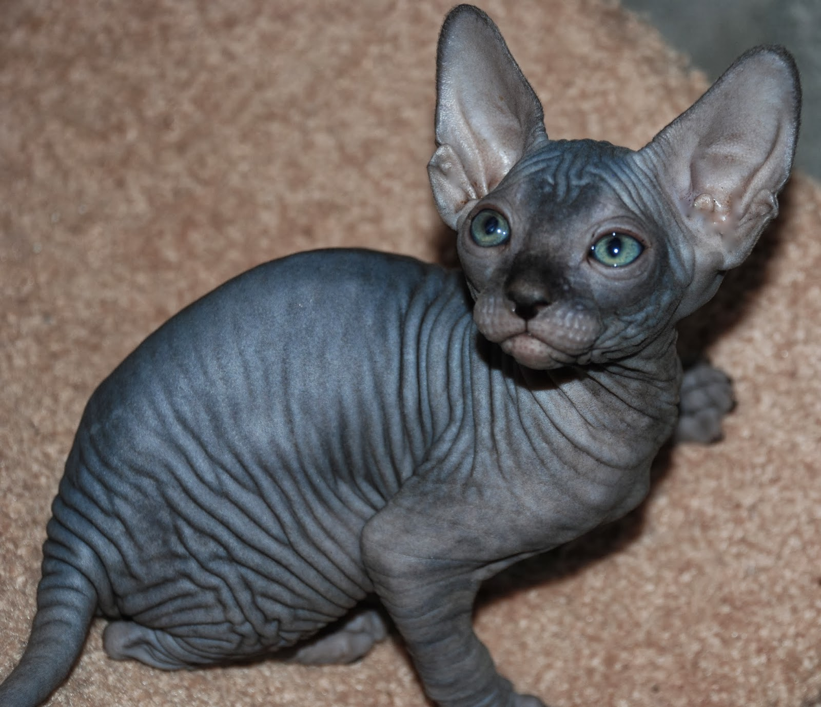 Reviews From People That Adopt Our Sphynx Cats and Sphynx