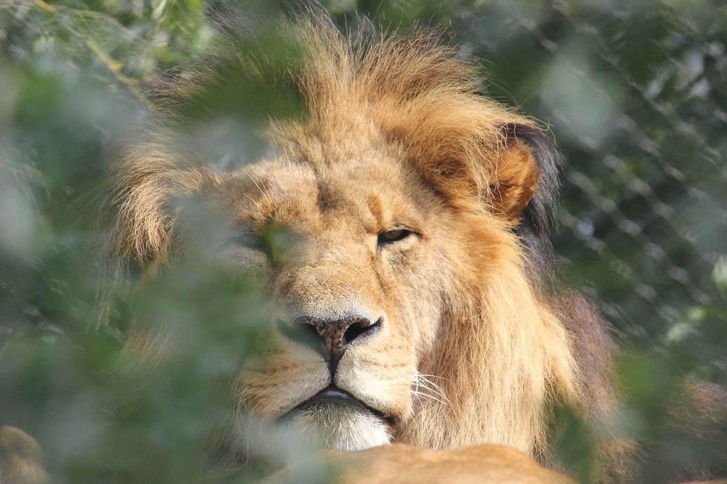 lev zoologická zahrada Schönbrunn