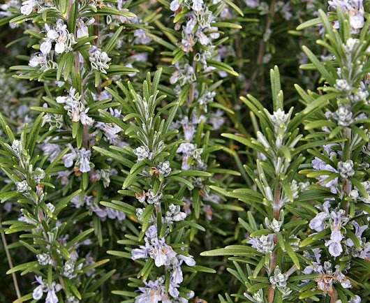 Benefits Rosemary Leaves For Health