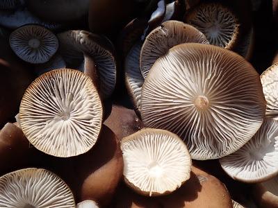 grzyby 2019, grzyby w marcu, grzyby na Orawie, szyszkówka świerkowa, grzybówka wiosenna