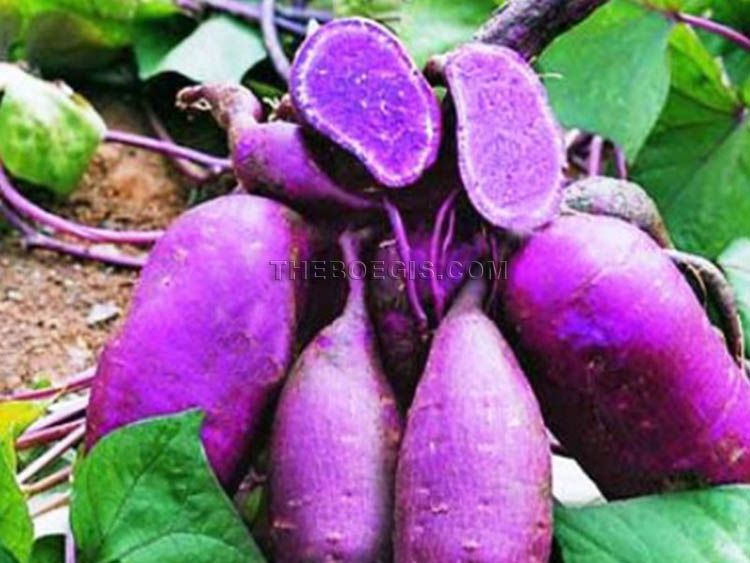 Purple sweet potato benefits for health and weight loss