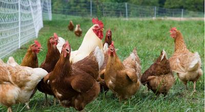 Kienyeji Chicken farming for profit