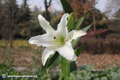 Hình ảnh đẹp nhất của hoa lyly