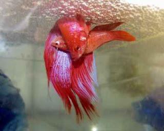 ikan cupang kawin
