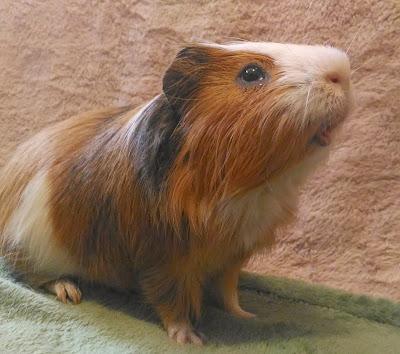 Guinea pig the cutest