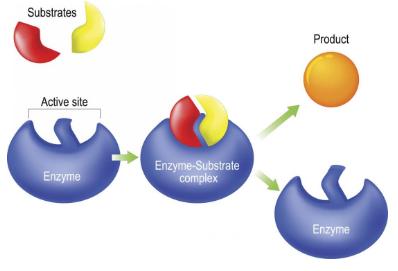 Cara kerja enzim di dalam tubuh