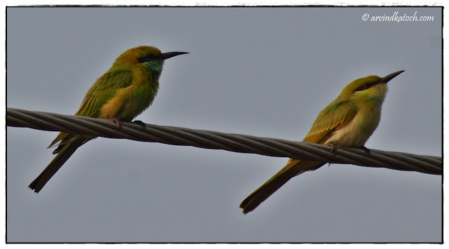 Green Bee-Eater, Juvenile