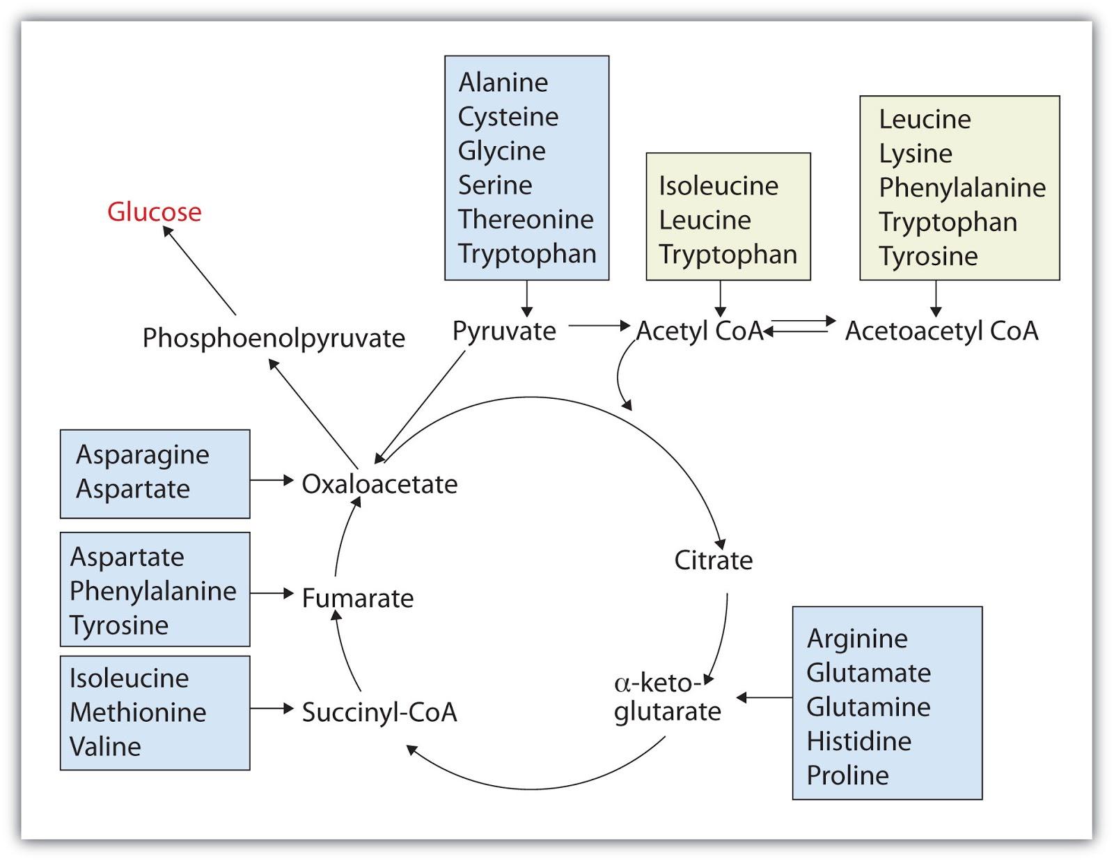 Katabolisme asam amino di tubuh manusia info pendidikan dan biologi rangka karbon asam amino masuk dalam siklus krebs ccuart Images