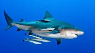 Ikan Remora - MENGENAL IKAN REMORA