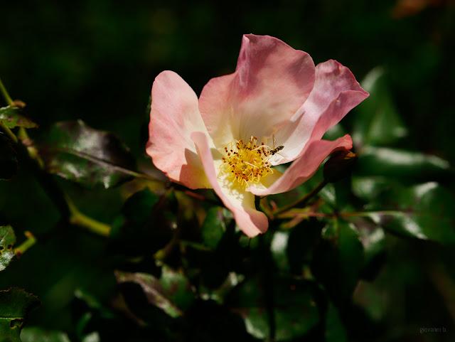 Rosa con insetto