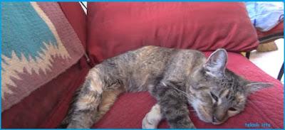 Ciri Ciri Kucing Mau Mati Secara Alami