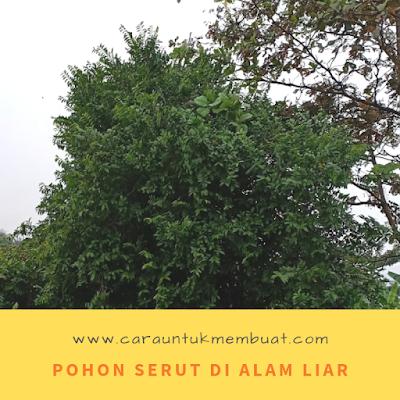 Pohon Serut Di Alam Liar Dari Kejauhan