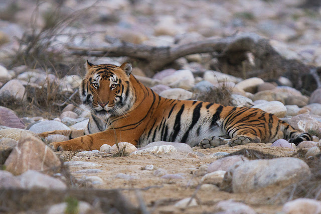 टाइगर, जिम कॉर्बेट नेशनल पार्क