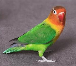 Jenis Lovebird Hijau