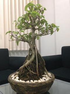 Ciri Ciri Pohon Bunut