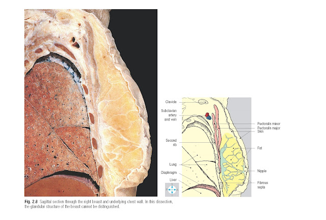 Sagittal section through the right breast and underlying chest wall. In this dissection, the glandular structure of the breast cannot be distinguished.