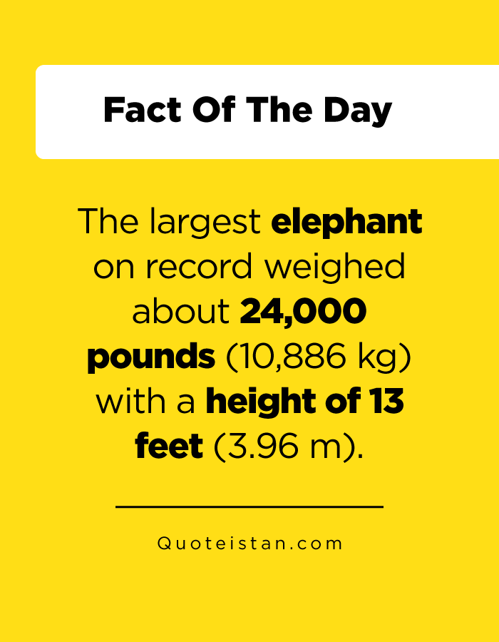The largest elephant on record weighed about 24,000 pounds (10,886 kg) with a height of 13 feet (3.96 m).