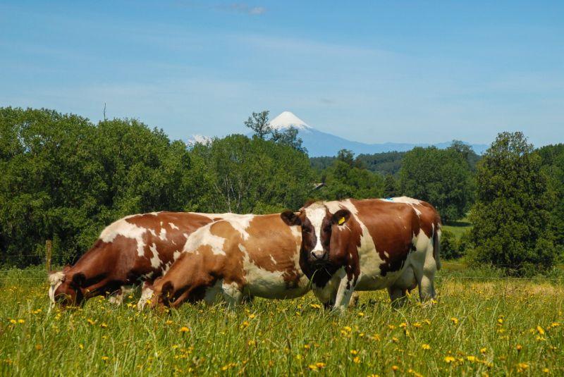 Chile Milk: el posicionamiento de la leche chilena en el mundo