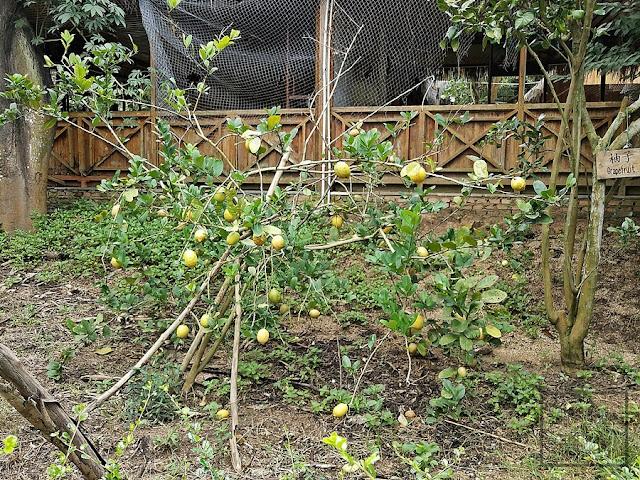 cytryna (Citrus limon) - uprawa, pielęgnacja, historia, nazewnictwo, pochodzenie, rozmnażanie. Jak dbać o cytrynę, jakie podłoże, jaka ziemia, podlewanie, nawożenie, zimowanie. Jak pielęgnować cytrynę w doniczce w domu, hodowla cytryny w mieszkaniu, jak uprawiać i dbać o cytrynę, cytrusy.
