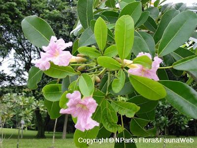 Bentuk tabebuia daun lebar rosea pink