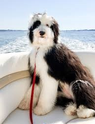 Giant Sheepadoodle Temperament
