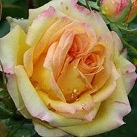 Rosa da identificare
